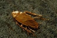 Golden cockroach